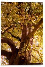 Autumn Chestnut , Acrylic Print