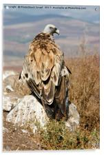 griffon vulture, Acrylic Print