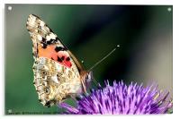 butterfly on a Silybum marianum, Acrylic Print