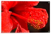 Close up of a red Hibiscus, Acrylic Print