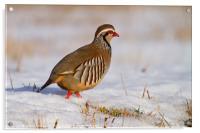 Red-legged partridge (Alectoris rufa), Scotland, Acrylic Print