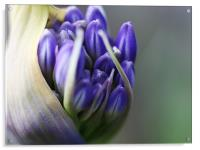 Agapanthus - Macro Bloom, Acrylic Print