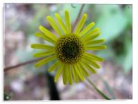 yellow flower, Acrylic Print