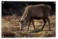 Wild Red Deer Stag, Acrylic Print
