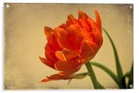 Orange Double Tulip, Acrylic Print