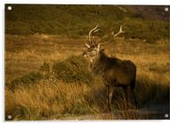 Monarch of the Glen, Acrylic Print