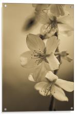 Blossom, Acrylic Print