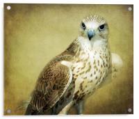The Saker Falcon Stare, Acrylic Print