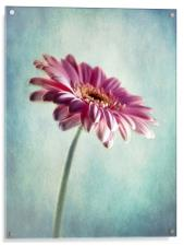 A Shade Of Pink, Acrylic Print