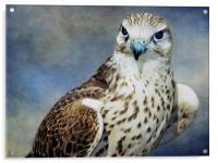 Saker Falcon, Acrylic Print