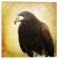 A Harris Hawk, Acrylic Print
