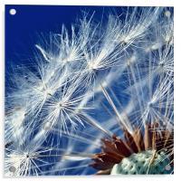 Dandelion Seeds, Acrylic Print