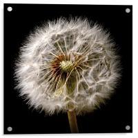 Dandelion Dreams, Acrylic Print