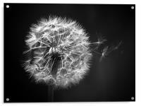 Dandelion Whispers, Acrylic Print