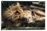 Sleeping Lion on wooden bed, Acrylic Print