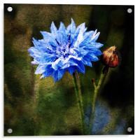 Cornflower Blues, Acrylic Print