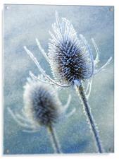 Wintery Teasles, Acrylic Print