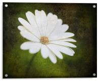 Cape Daisy, Acrylic Print