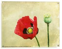 Poppy against the wall, Acrylic Print