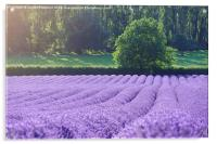 Rows of Lavender, Acrylic Print