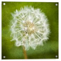Sparkling Dandelion, Acrylic Print