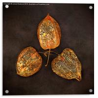 Three Chinese Lanterns, Acrylic Print
