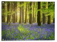 The Bluebell Woods , Acrylic Print
