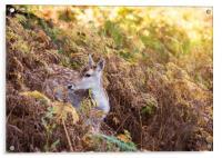 Deer in the Autumn, Acrylic Print