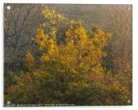 Golden Morning, Acrylic Print