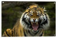 Eyes of the Tiger!, Acrylic Print
