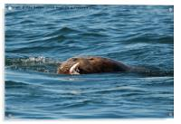 Sea Lion Meal, Acrylic Print