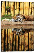 Tiger, Tiger, Acrylic Print