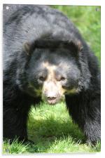 Andean Bear Momma, Acrylic Print