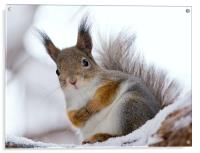 Squirrels posing, Acrylic Print