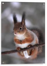 Red squirrel on a tree branch, Acrylic Print