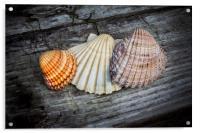 Sea Shells on Wood, Acrylic Print