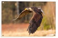 Bald Eagle in Flight, Acrylic Print