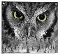 Screech owl, Acrylic Print
