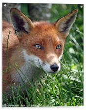 Red fox stare, Acrylic Print