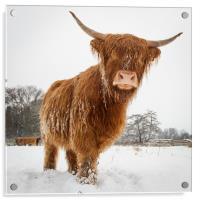 Horny cow, Acrylic Print