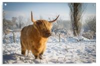 Highland Cow in the snow, Acrylic Print