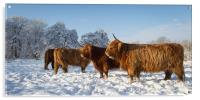 Highland cattle in the Snow, Acrylic Print