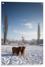 Highland Cows in snow, Acrylic Print