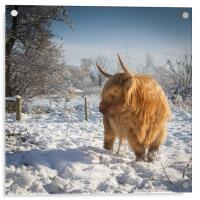 Hairy Cow in snow, Acrylic Print