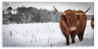 Highland cow in snow, Acrylic Print