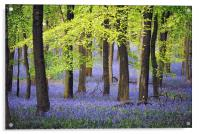 Bluebells at Ashridge, Acrylic Print