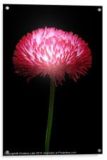 Clover Red, Acrylic Print