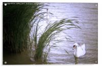 Swans, Acrylic Print