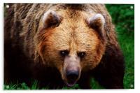 Brown Bear, Acrylic Print