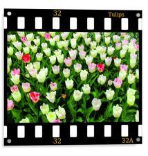 Tulips On Film, Acrylic Print